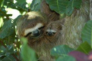 Sloths: Mama and baby