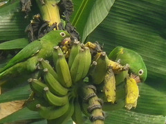 parakeets eating bananas